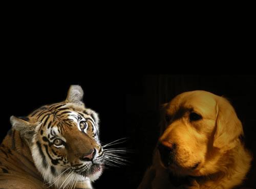cainele si tigrul
